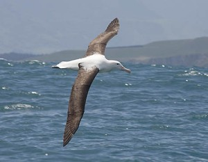 Albatross_Royal_Nthern